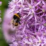 Bee   RHS Wisley   June 2019-7