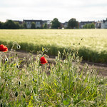 Poppies   Approaching Woking   Woking to Wisley and back-17