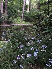 Hydrangea near the lily pond, evening at Tregaron Conservancy, Cleveland Park, Washington, D.C.