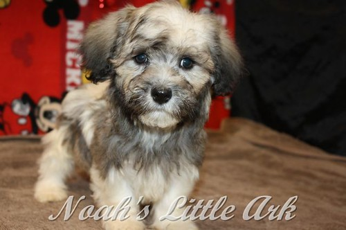 Sold Puppies in Alabama | Noah's Little Ark