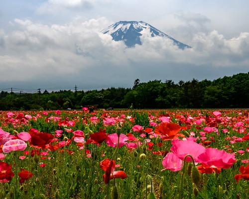 Early summer Fuji and Poppy fields