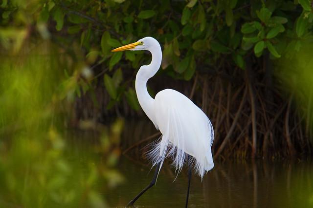 Photo:Great egret (Ardea alba) - Playa Pesquero, Holguin, Holguín Province, Cuba - Feb 2019 By Dis da fi we