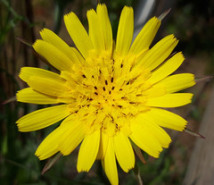 Salsifis des  prés (Tragopogon pratensis subsp. pratensis) - Photo of Ableiges