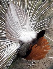 Paon bleu (Pavo cristatus) - Photo of Épiais-Rhus