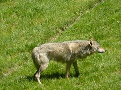 Loup gris européen - Photo of Montromant