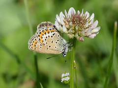 Silver-studded Blue (Plebeius argus) - Photo of Baneuil