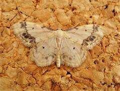 Treble Brown Spot.  Sterrhinae