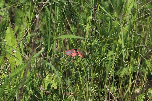 Jakobskrautbär, Blutbär, Karminbär (Tyria jacobaeae)