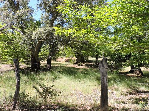 Castaños y alcornoques en la Sierra de Aracena. Fuenteheridos (Huelva).