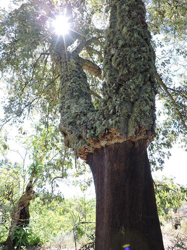 Alcornoque (Quercus suber) descorchado. Fuenteheridos (Huelva).
