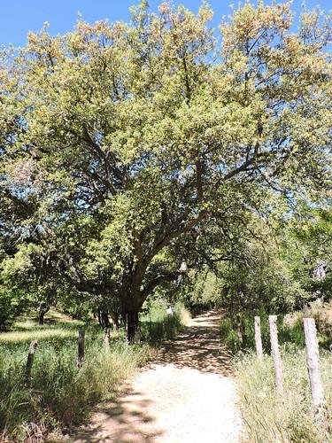 Alcornoque (Quercus suber). Fuenteheridos (Huelva).