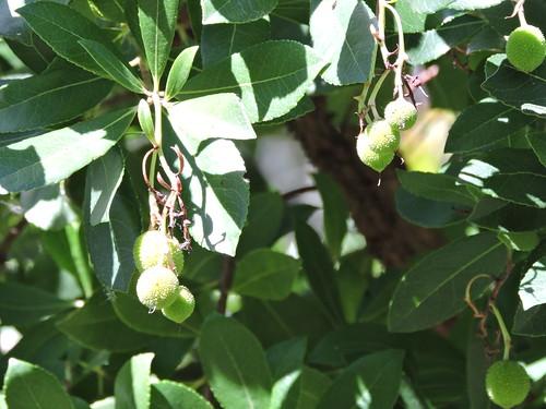 Madroño (Hoja y fruto). Fuenteheridos (Huelva)