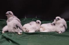 Peregring Falcon Banding-11