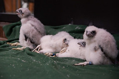 Peregring Falcon Banding-12