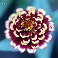 Zinnia 'Aztec Burgundy Bicolor'
