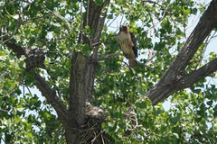 Red-Tailed Hawk Watching Over Two Chicks in Nest