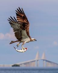 Osprey Inflight & Sunshine Skyway Bridge