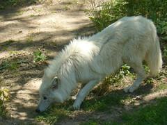 Loup Blanc arctique - Photo of Montromant
