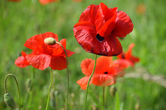 Rouge coquelicots - Photo of Mertzwiller