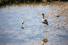 Avocets - Parent and Child