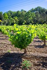 190601 vines 26 - Photo of Preixan