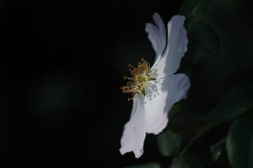White Flower   Tair 11a 135mm f/2.8 M42   IMGP2573c