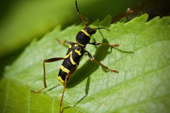 Clytus - Photo of Chauffry