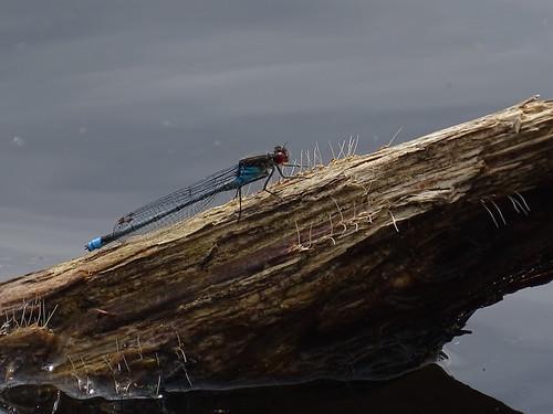 Grote roodoogjuffer | Large Redeye male (Erythromma najas)| Aekingerzand nl