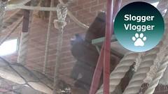 Gorilla Brother Shufai Disturbs Lope On The Upper Platform