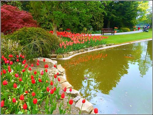 Lakeside Tulips..