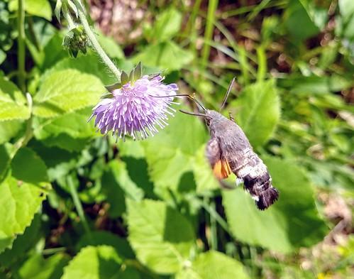 Humming-bird Hawk-moth Macroglossum stellatarum