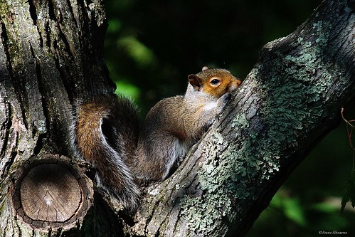 Gray Squirrel Resting in Tree