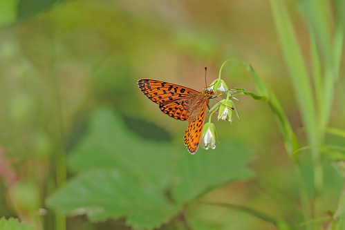 Small Pearl-Boardered Fritillary