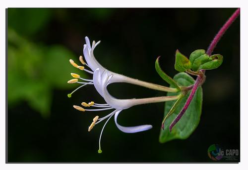 """Chèvrefeuille - Lonicera delavayi.  «j'essaie de faire  éclore les fleurs que j'ai dans ma tête………… """""""