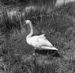 Yup its a swan, classic B&W film subject for 140 years.  Rollei Hy6 .