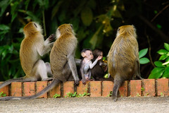 Street Macaques Singapore