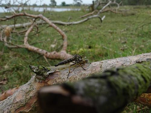 Bosrandroofvlieg | Common Awl Robberfly male  (Neoitamus cyanurus) | Aekingerzand nl