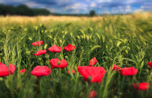 Poppies :-)