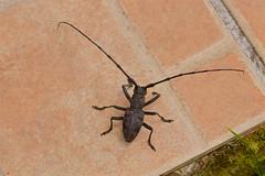 Rencontre inattendue, 2.  Unexpected encounter. Scarabée ? Beetle ? Ecosystème et biodiversité dans mon jardin ! - Photo of Daignac