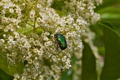 Rencontre inattendue, 3.  Unexpected encounter. Scarabée ? Beetle ? Ecosystème et biodiversité dans mon jardin ! - Photo of Daignac
