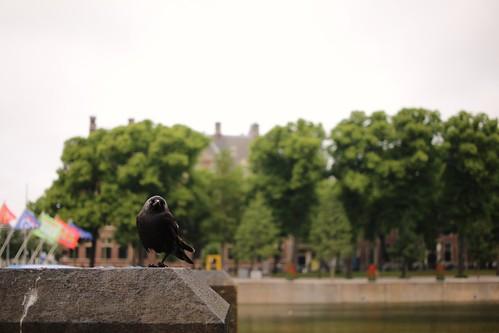 The one legged bandit (Corvus monedula)