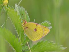Zuidelijke luzernevlinder