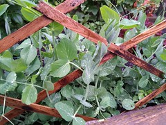 Peas Growing Through a Trellis