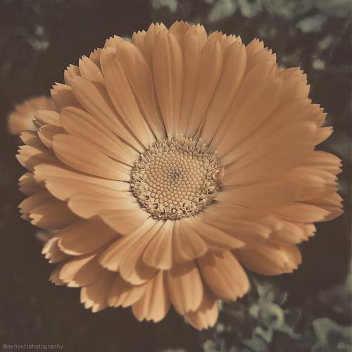 Calendula Officinalis ~ aka Pot Marigold, Open Square Gardens Weekend at St Mary's Secret Garden, Hackney