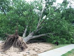 Fallen Pecan Tree, JEE