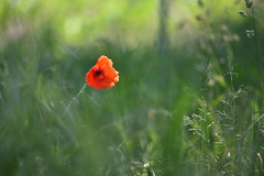Le coquelicot qui se sentait tout seul - Photo of Schweighouse-sur-Moder