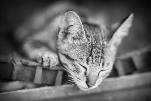 kitten on Bali, Indonesia