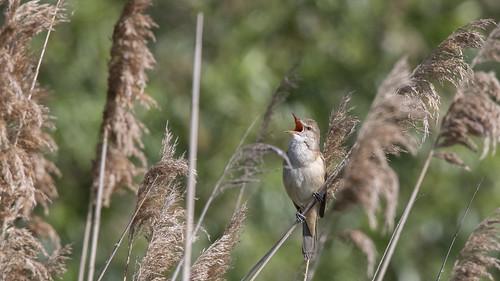 Great Reed Wrabler / Drosselrohrsänger