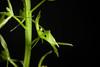 Photo:[Okayama, Japan / 岡山県] Liparis krameri fma. alba Franch. & Sav., Enum. Pl. Jap. 2: 509 (1878) By sunoochi