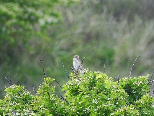 Nachtegaal in het duinbos bij Hollum, Ameland